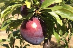 """A Queensland-bred """"super plum"""" is set to earn the Queensland Government millions of dollars in royalties in the next 20 years.  Key points:  Queen Garnet plum has high levels of anthocyanins, believed to provide a range of health benefits There is growing international interest in the plums Plum's health benefits tested on rats, now early indications from human trials are """"amazing"""" """"Interest in the high antioxidant plum is coming from every major stone fruit growing country in the world,"""""""
