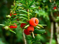 yew seeds - 5 poisonous berries that you should steer clear of – and 3 wild berries you can eat
