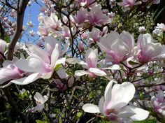 liliomfa ultetese 02 Free Pictures, Free Images, Magnolia, Tulips, This Is Us, Spring, Plants, Free Pics, Magnolias