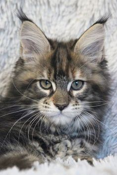 Do Maine Coon Cats make friendly pets? Take a look at our post and see just how friendly Maine Coon's really are to own as pets and companions for your home. I Love Cats, Crazy Cats, Cute Cats, Funny Cats, Gato Maine, Maine Coon Cats, Pretty Cats, Beautiful Cats, Animals And Pets