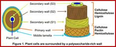 Carbohydrate Metabolism Plasma Membrane, Plant Cell, Cell Biology, Cell Wall, The Cell, Biochemistry, Solar Energy