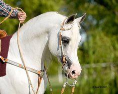 *Kordelas (Monogramm X Kabala By Palas) - Polish Arabian stallion