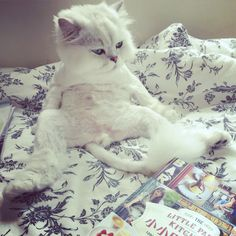 I am the prince#cats #kitten #lovecats #ragdoll #chinchilla #Persian #kitten #meow #lovecat