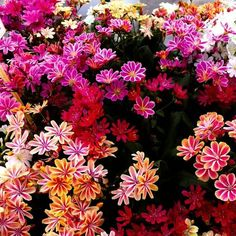 Lewisia Mountain Dream - Gorgeous Lewisia Plants in assorted colours - Garden Plants Dwarf Lilac, Rock Plants, Garden Express, Leigh On Sea, Hardy Plants, Garden Edging, Passion Flower, Plant Species, Shades Of White