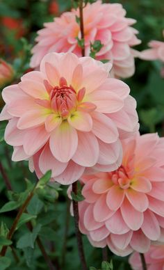Pflanzen Dahlia 'Ankara' Is Your Family Really Benefiting When You Work at Home? All Flowers, Flowers Nature, Amazing Flowers, Beautiful Flowers, Dahlia Flowers, Roses, Dahlia Wedding Bouquets, Wedding Flowers, Calla