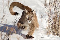 mountain lion walks through the snow