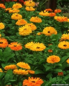 "See the ""Calendula: Cuts and Scrapes"" in our Uses for Herbs  gallery"