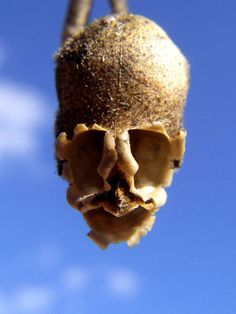 Muflier des champs ou fleur tête de mort (Antirrhinum)
