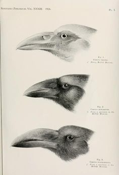 The Biodiversity Heritage Library works collaboratively to make biodiversity literature openly available to the world as part of a global biodiversity community. Scientific Drawing, Raven Art, Science Illustration, Crows Ravens, Bird Drawings, Vintage Birds, 2d Art, Natural History, Beautiful Birds