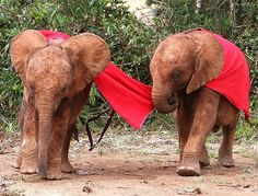 From blanket thieves to bottle fiends, mini matriarchs to mischief makers, all sorts of personalities make up our Nursery herd. This #FosterFriday, meet the orphans in our care and perhaps pick one to foster as a memorable and meaningful holiday gift for a loved one. Visit: ►thedswt.org/advent-2016◄ • • • Photo © David Sheldrick Wildlife Trust  #DSWT