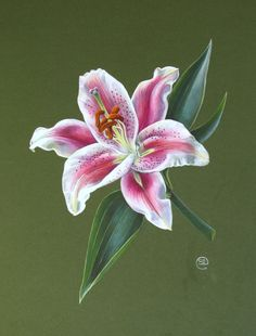 Stargazer Lily in Gouache - Shevaun Doherty Canvas Painting Designs, Painting Patterns, Botanical Flowers, Botanical Art, Lilies Drawing, Lily Painting, Botanical Drawings, Stargazing, Watercolor Flowers