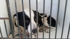 11/15/16-HOUSTON - HIGH KILL FACILITY - ALL DOGS URGENT DUE TO OVERCROWDING -This DOG - ID#A472391 I am a female, white and black Collie - Smooth. The shelter staff think I am about 1 year and 9 months old. I have been at the shelter since Nov 15, 2016. This information was refreshed 22 minutes ago and may not represent all of the animals at the Harris County Public Health and Environmental Services.
