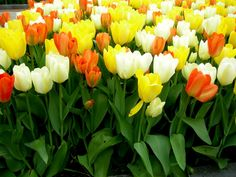 tulip color combinations - Google Search