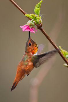 Rufous humming bird.