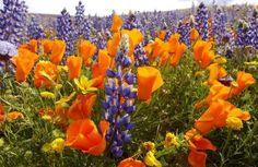 California Poppy Festival! Sounds fun!