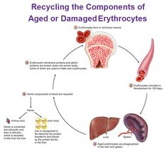 recycling erythrocytes, biliverdin, bilirubin, iron, ferritin, heme Rh Factor, Blood Components, Medical Massage, Blood Groups, Hematology, Bone Marrow, Medical Laboratory, Nclex, Anatomy And Physiology