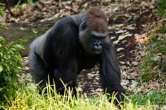 Gorilla Pictures HD Wallpaper 3