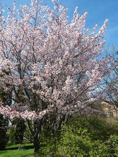 Prunus sargentii, bergskörsbär Höjd: 8-10 meter Bredd: 5-8 meter Härdighet: zon 5 Läge: Näringsrik jord med god dränering. Sol-halvskugga.  Ett körsbärsträd med bred vasformad till upprätt krona med först bronsfärgade blad som efter en tid blir gröna. Äldre uppstammade träd får en bredare krona. Enkla mörkrosa blommor som slår ut före lövsprickningen. Fantastisk höstfärg i gult, rött och orange vilket gör att trädet får två höjdpunkter varje år; blomning och höstfägring.
