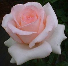 Susan (Kordes) - This different, strongly fragrant variety should be highly valued in flower markets. Blooms are of pale to mid pink, occasionally flushed brighter pink. Growth is robust, with plentiful strong and healthy, leathery foliage.