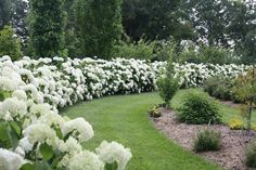Incrediball® - Smooth Hydrangea - Hydrangea arborescens | Proven Winners Won't flop over.