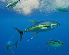 Yellow Fin Tuna.  Ready to go fishing.