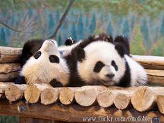 https://flic.kr/p/Hx7A3N | Toronto Zoo | Toronto Zoo ~ June 2016 ~ Panda Cubs Jia Panpan and Jia Yueyue