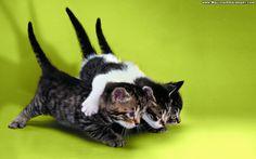 funny kittens wallpaper
