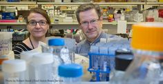 Fred Hutch scientists have used a gene-editing technique to attack the DNA of…