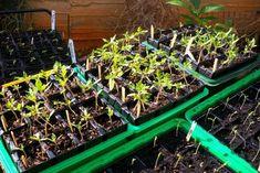 Καιρός να φυτέψουμε ντομάτες ξεκινώντας από τη βλάστηση των σπόρων. Ακολουθήστε τις ακριβείς οδηγίες μου και σας υπόσχομαι ότι το καλοκαιράκι δεν θα χρειάζεστε προμήθειες από τον μανάβη σας. Permaculture Garden, Plants, Plant, Planets