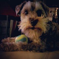 You wanna play ball with a cute schnauzer like me?
