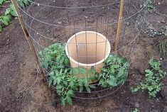 Use a plastic waste basket with holes drilled, add two shovelsful of compost, fill with water every other day. Plant tour tomatoes around it. Pinner says it works wonders.