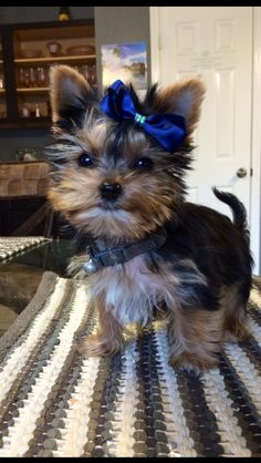 Yorkie puppy Snickers first bow!!