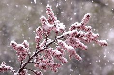 blossoms in snow