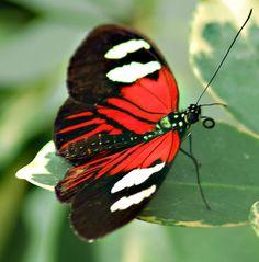 #butterflies #red #black