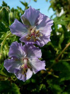 Geranium Phaeum 'Blauwvoet'