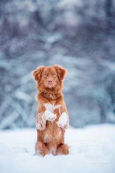 Nova Scotia Duck Tolling Retriever by Kseniya Ressy Pet Dogs, Dog Cat, Pets, Cute Puppies, Dogs And Puppies, Baby Puppies, Toller Dog, Nova Scotia Duck Tolling Retriever, Cute Animals