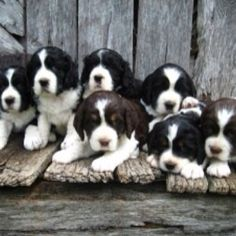 Springer Spaniel Puppies!!! They are the cutiest puppies and great dogs!