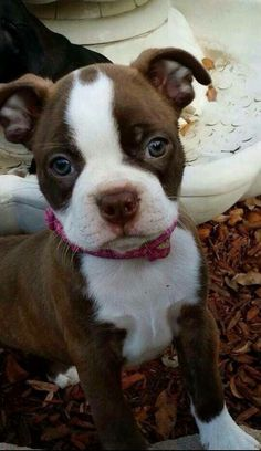 """Acquire great ideas on """"boston terrier puppies"""". They are accessible for you on our internet site. Red Boston Terriers, Boston Terrier Love, Boston Terrier Puppies, Cute Puppies, Dogs And Puppies, Cute Dogs, Doggies, Bulldog Puppies, Baby Animals"""
