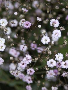 Gypsophila repens 'Rosenschleier'- Zwergschleierkraut, Polster-Schleierkraut  Die Schleierkraut-Hybride 'Rosenschleier' besitzt nicht nur eine sehr lange Blütezeit vonJuni bis August, sondern beeindruckt darüber hinaus mit...