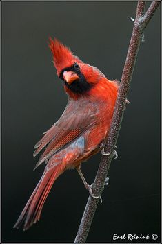 thelordismylightandmysalvation:  Northern Cardinal by Earl Reinink on Flickr.
