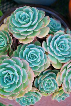 Echeveria imbricata (by flora-file) full sun Cacti And Succulents, Planting Succulents, Cactus Plants, Planting Flowers, Cactus Flower, Flower Pots, Echeveria Imbricata, Succulent Images, Plantas Bonsai