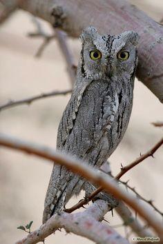 Striated Scops Owl