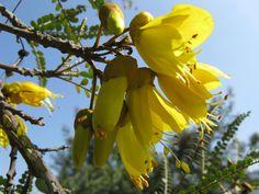 Sophora cassioides