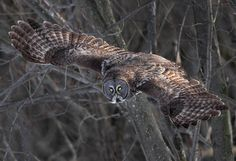 Head Lights by Gary Fairhead Another one from my hard drives and from the last Great Gray Owl Irruption in Ottawa ON. during the 2013 Winter season. This one was taken with a Canon 7D and 500F4 at F5.6 for 1/1250 sec at ISO 400 http://flic.kr/p/MnR1FL
