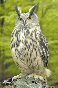 Eurasian Eagle Owl.