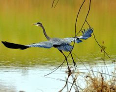 Great Blue Heron takes flight.  . Photo by Paul Lyndon Phillips