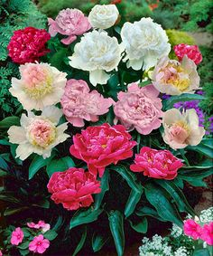 Another great find on #zulily! Live Peony Collection - Set of Four #zulilyfinds