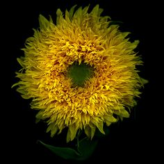 Magda Indigo, TURN YOUR FACE TOWARDS THE SUN...LET IT BE... The Teddy Bear Sunflower
