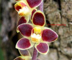 Chiloschista lunifera (Rchb.f) J.J. Sm. 1905 / miniature orchid