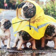Pugs in rain gear
